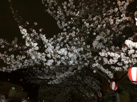 城北川夜桜